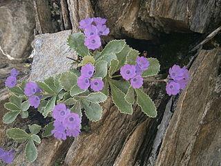 <i>Primula marginata</i>