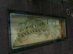 Prognathodon - Torso of P. saturator.