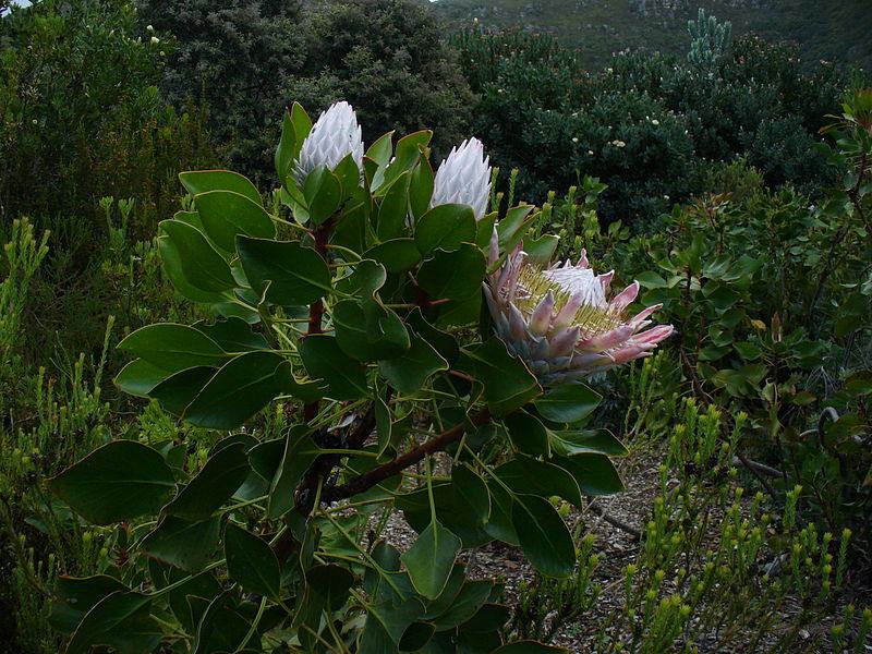 File:Protea cynaroides.jpg