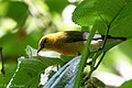 Prothonotary Warbler Boy Scout Woods High Island TX 2018-04-11 12-52-56 (39993442820).jpg