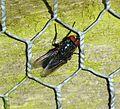 Protocalliphora azurea (33046475434).jpg