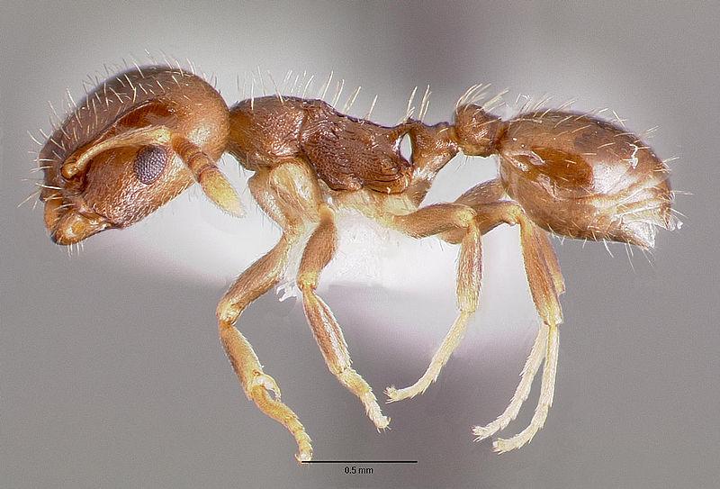 File:Protomognathus americanus casent0003235 profile 1.jpg