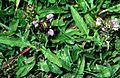 Prunella x dissecta1 eF.jpg