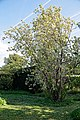 Prunus 'Amanogawa' at Myddelton House, Enfield, London, England 02.jpg