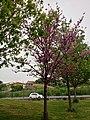 Prunus Persica in Rome 2019 - 06.jpg