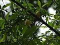 Prunus persica (7760176858).jpg