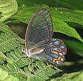 Pseudohaeterea hypaesia (12828636234).jpg