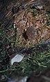 Pseudohydnum geltinosum, Pisgodlyn, 1979 (30986032366).jpg