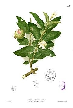 Ổi (Psidium guajava)