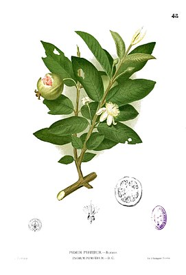 Echte Guave (Psidium guajava), Illustration von Francisco Manuel Blanco
