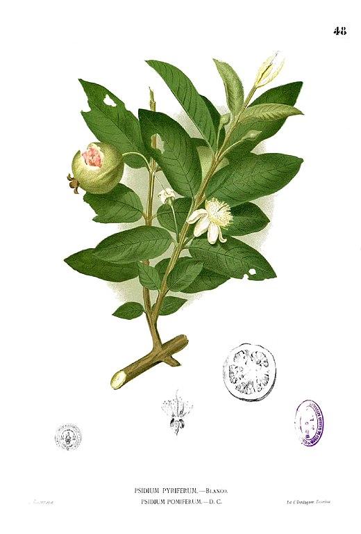 Psidium guajava  Wikipedia