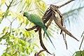 Psittacula krameri 08791.jpg