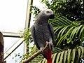 Psittacus erithacus -Topeka Zoo, Kansas, USA-8a.jpg