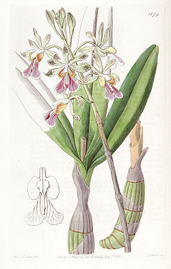 Psychilis bifida (as Epidendrum bifidum) - Edwards vol 22 pl 1879 (1836).jpg