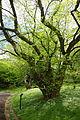 Pteroceltis tatarinowii - Morris Arboretum - DSC00346.JPG