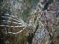 Pterois volitans.401 - Aquarium Finisterrae.jpg