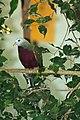 Ptilinopus magnificus -Dallas Zoo, Texas, USA-8a.jpg