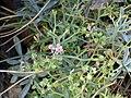 Ptilotrichum spinosum Flowers 2009-7-25 SierraNevada.jpg