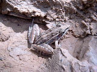 <i>Ptychadena pumilio</i> species of amphibian