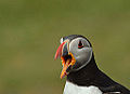 Puffin (Archive) (12091192456).jpg