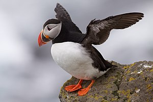 English: Atlantic puffin spreading its wings