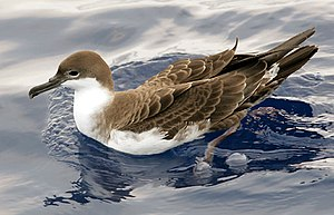 Tristan thrush - Great shearwater