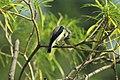 Purple Sunbird (male) clicked at Kanha National park 01.jpg