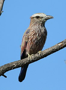 Purple roller, Coracias naevius, in the Punda Maria area, Kruger National Park, South Africa (26391364903).jpg
