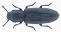 Pycnomerus fuliginosus Erichson, 1842.png