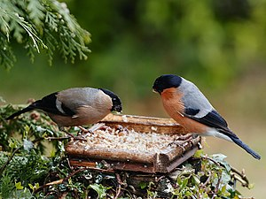 A pair of Eurasian Bullfinches feeding at a bi...