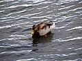 Quack (4007496384).jpg