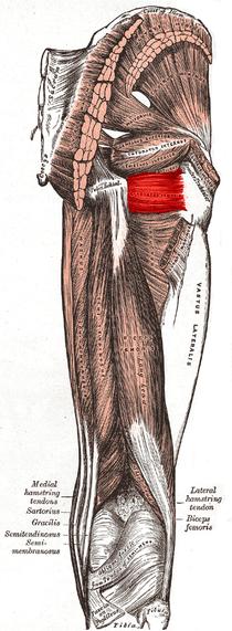 Quadratus femoris muscle.PNG