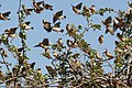 Quelea quelea -Tsavo East National Park, Kenya -flock-8.jpg