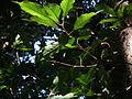 Quercus acuta-Mt.Taisyaku-Kobe,アカガシの葉(神戸帝釈山).JPG