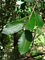 Quercus chrysolepis 08638.JPG