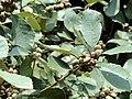 Quercus franchetii - Kunming Botanical Garden - DSC03269.JPG