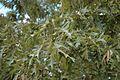 Quercus pagoda (24136142316).jpg