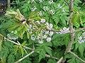 Quercus pontica with Chaerophyllum hirsutum roseum - Flickr - peganum.jpg
