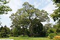 Quercus velutina 7zz.jpg