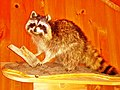 Raccoon - panoramio.jpg