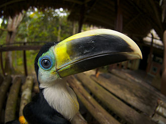 Channel-billed toucan - Image: Ramphastos vitellinus Palmari Reserve 8a