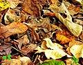Rana dalmatina - šumska žaba; Predeo izuzetnih odlika Vršačke planine.jpg
