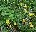 Ranunculus cassubicifolius 040508b.jpg