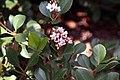 Raphiolepis Springtime 0zz.jpg