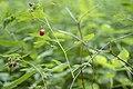Raspberry (Ipernity-47020962).jpg
