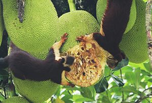 Indian giant squirrel - Malabar giant squirrels feeding on a ripe jackfruit