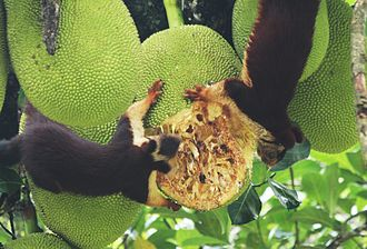 Indian giant squirrel - Malabar giant squirrels feeding on a ripe jackfruit