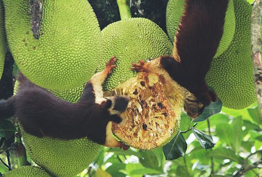 Ratufa indica and jack fruit