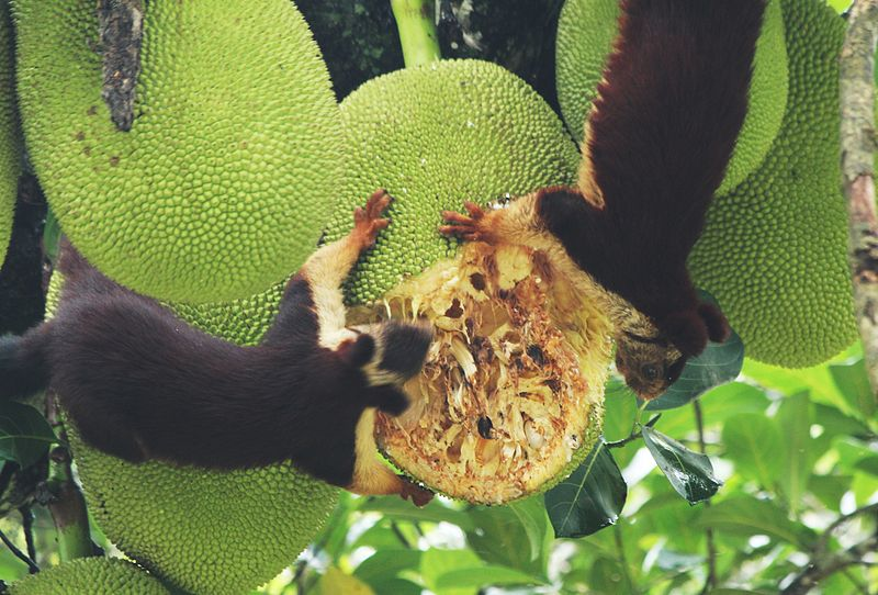 File:Ratufa indica and jack fruit.JPG