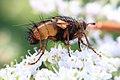 Raupenfliege Tachina male 3502.jpg